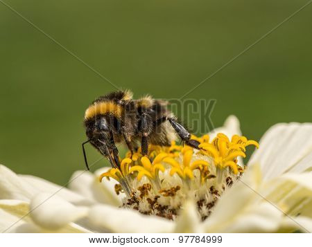 Closeup of zinnia flower with bee