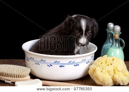Black little border collie puppy in a white basin