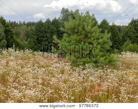Authentic Beautiful Landscape Meadow Small White Flowers In The Woods On A Sunny Summer Day