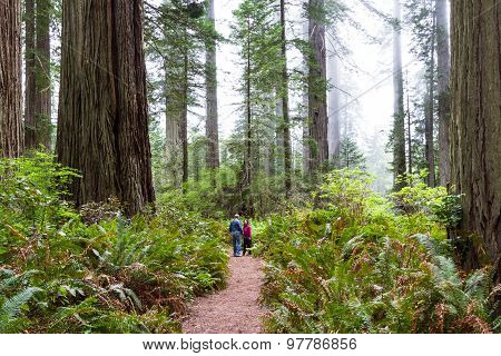 Redwood Trees, California