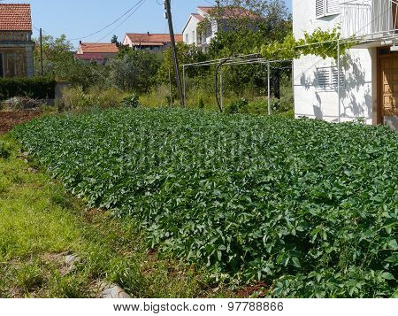 Potatoes in a kitchen garden in the Mediterranian