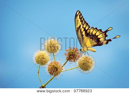Giant Swallowtail Butterfly On Buttonbush Flowers