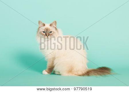 Birman cat in studio on green background