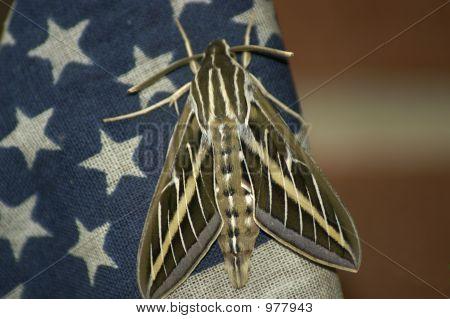 Patriotic Moth