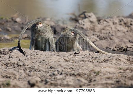 Vervet Monkey Drinking Water From Pond With Dry Mud