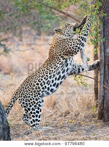 Strong And Hungry Leopard Catch A Rock Python To Eat