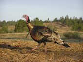 image of wild turkey  - wild tom turkey outdoors in field running - JPG
