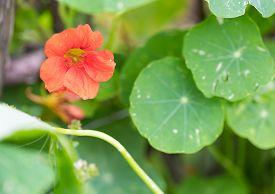 foto of nasturtium  - Beautiful nasturtium flowers blooming in garden - JPG