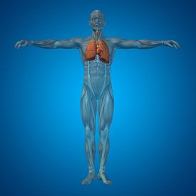 picture of respiratory  - Concept or conceptual anatomical human or man 3D respiratory system on blue background - JPG