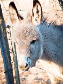 stock photo of headstrong  - Little donkey in a farm in sardinia - JPG