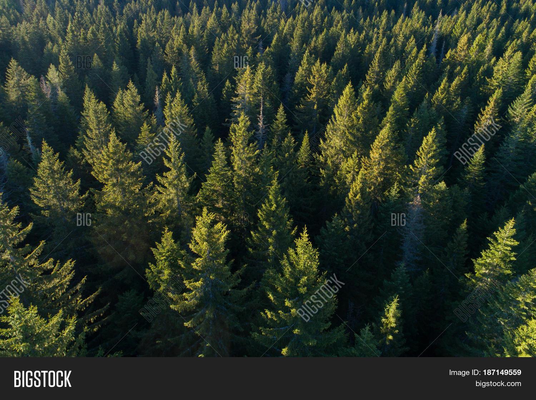 nice view evergreen trees - photo #39