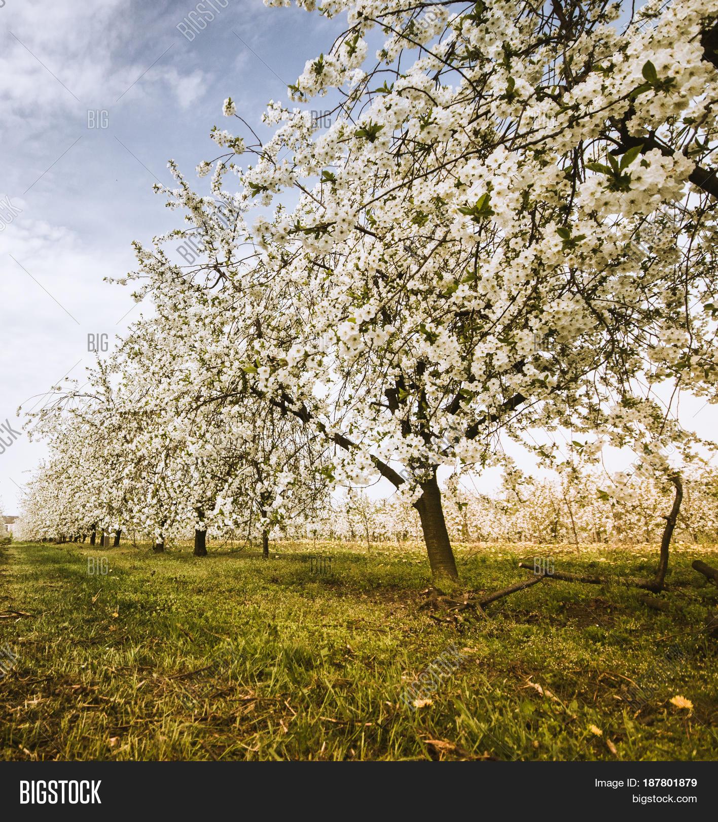 Cherry trees during blooming season polish orchard stock photo stock images bigstock - Romanian cherry tree varieties ...