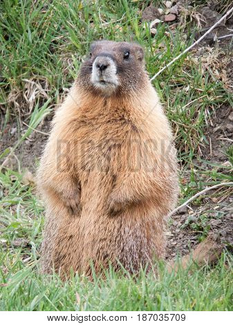 Prairie Dog or Marmot popping up for a friendly Hello.