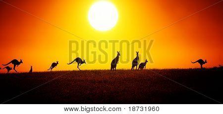 Canguro en puesta de sol