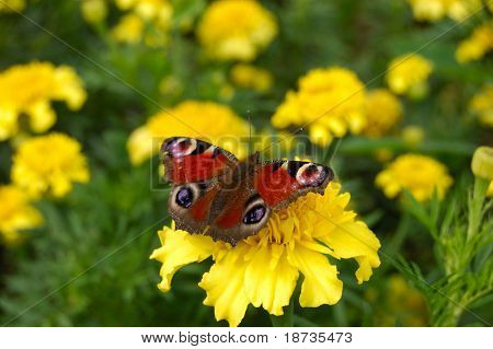 butterfly sits on a flower