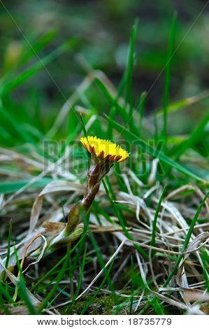 Tussilago farfara Asteraceae - coltsfoot bloom
