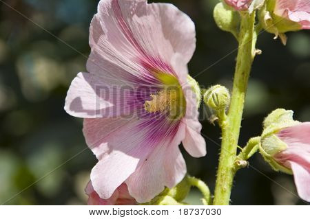 pink flower - malvaceae althaea rosea