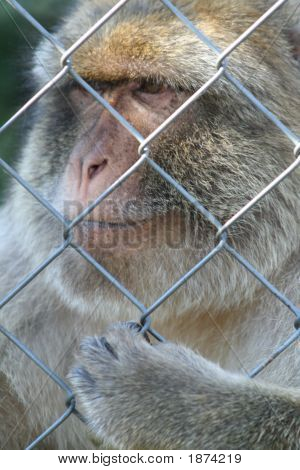 A Monkey In A Cage
