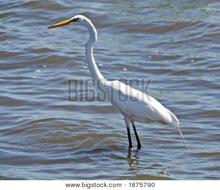 Great Egret (2)