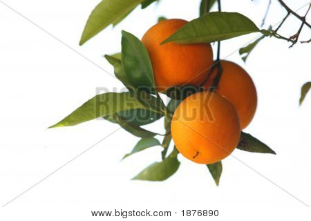Fresh Oranges On A Tree Isolated On White
