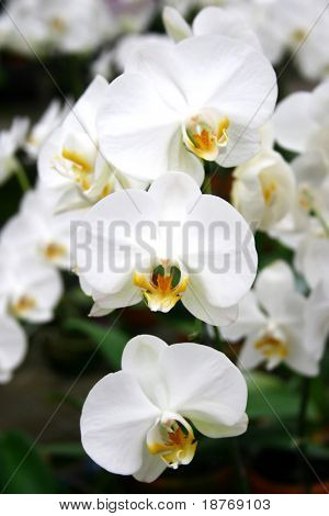 close up of white orchids being propagated at flower nursery