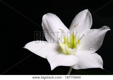 image of white flower isolated on black
