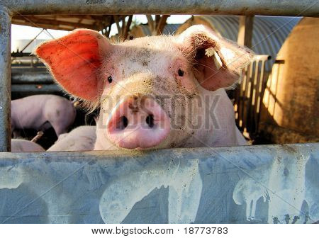 Cute young pig overlooking the fence of the stable