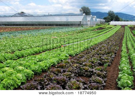 Rows of salad in front of a greenhouse