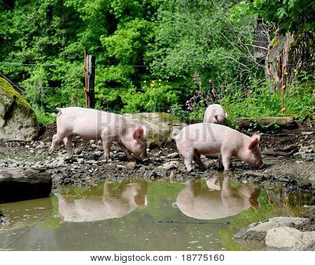 Young piglets outdoor on a farm