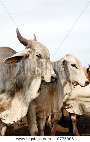 Closeup of zebu cattle, a close relative of cow, common livestock in tropical climate, such as Brazil and India