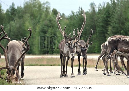 Reindeer - kings of the road in Lapland, Scandinavia