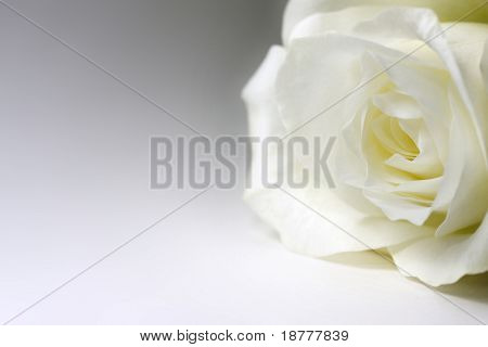 Single white rose on white background with copy space