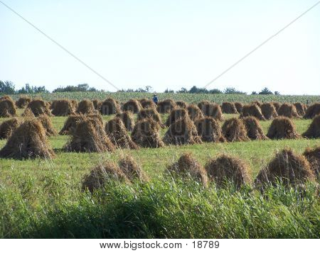 Amish Grain Stooks