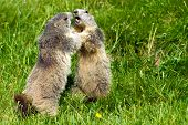 pic of groundhog  - Two marmots fighting together - JPG