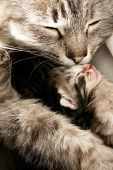 image of baby animal  - Mother cat kisses her daughter with compassion - JPG