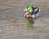 Drake Mallard Duck poster