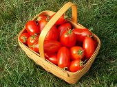 stock photo of plum tomato  - basket of freshly picked tomatoes sitting on the lawn - JPG