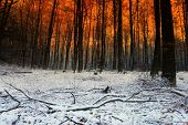 foto of snow forest  - Sundown and snow  in a forest - JPG