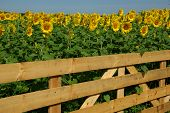 image of heliotrope  - A wood fence surrounds a beautiful field of sunflowers - JPG