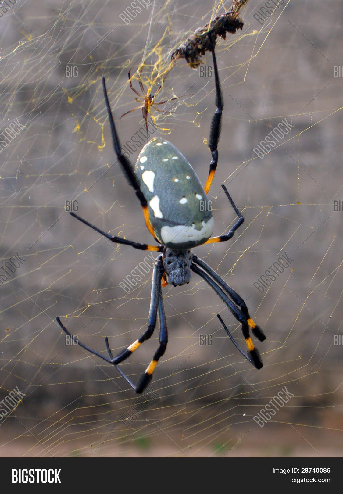 Giant African Spider Giant African S...