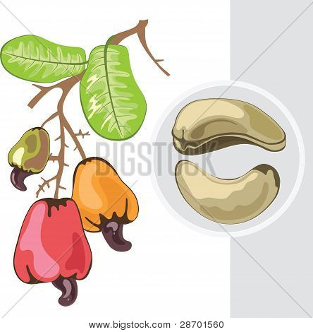 Cashew. Branch With Fruits And Leaves. Vector Illustration.