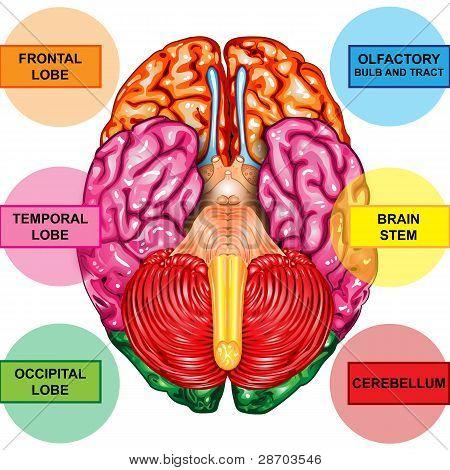 Human brain underside view