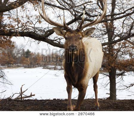 Rushing Elk