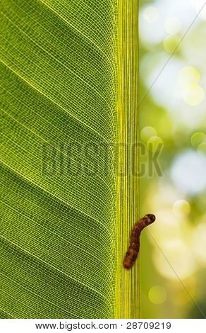 Caterpillar Perched On A Leaf Backlit By Sunlight