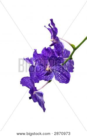 Blue Orchid Isolated