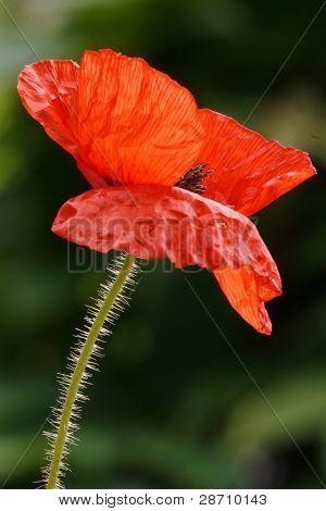 Backlit Poppy Flower