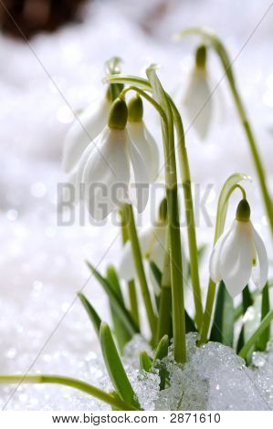 Snowdrops On Snow