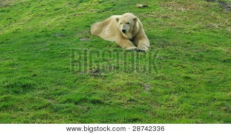 Icebear in the zoo