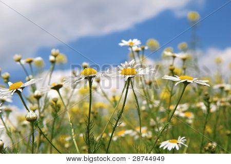 Daisy White Blossom Under Blue Sky