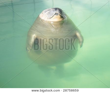 Relaxed Seal in the Swimming Pool